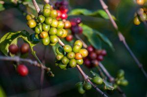 Een groene koffieplant