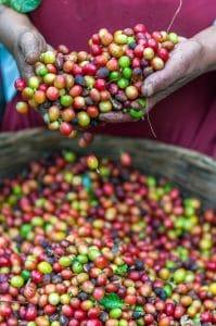 Koffieplantage werkomstandigheden